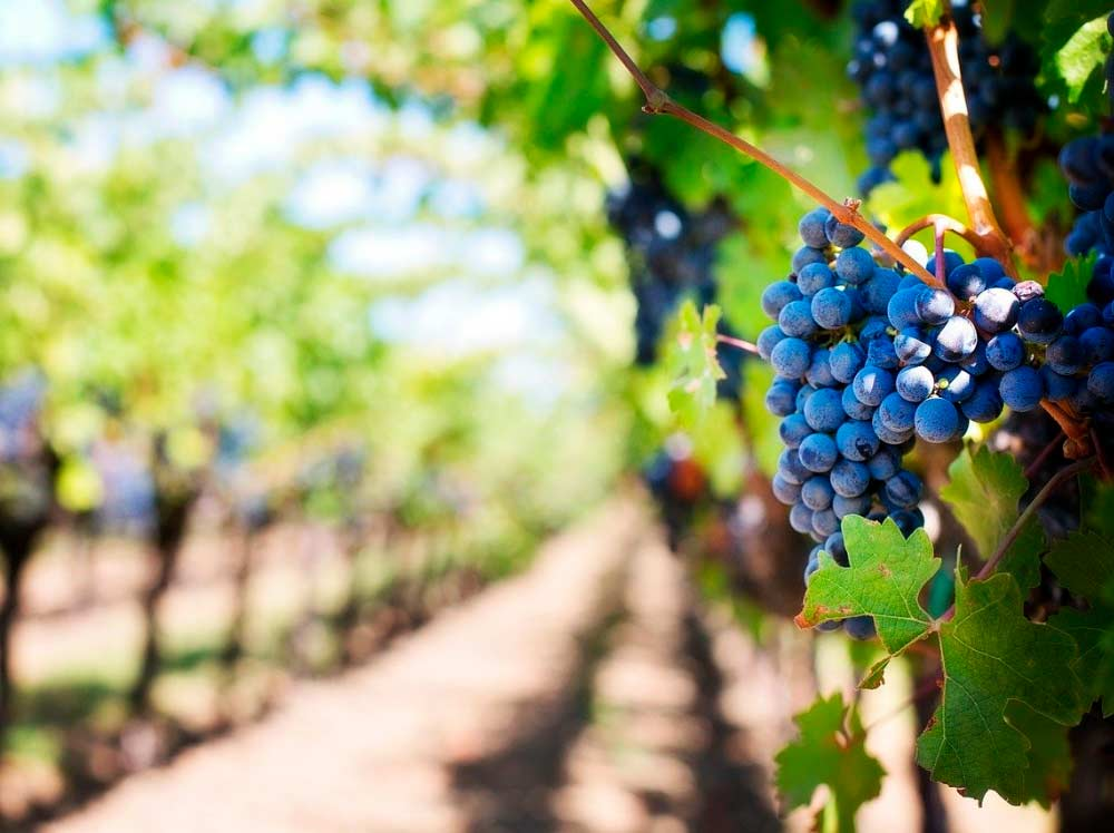 sector vitivinícola